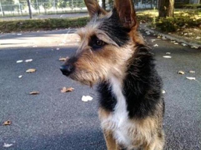 Esthia, chien Berger de Picardie