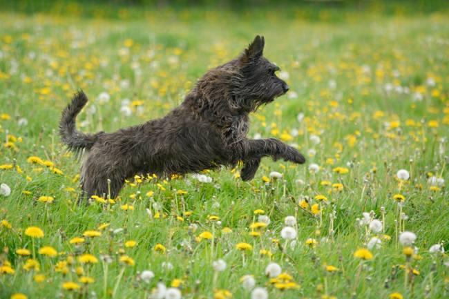 Malik, chien Berger de Picardie