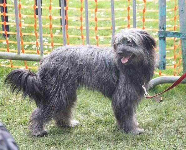 La Voilà, chien Berger des Pyrénées