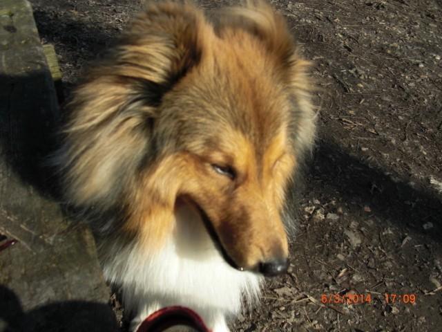 Iroy, chien Berger des Shetland