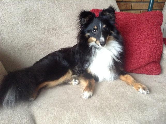 Newton, chien Berger des Shetland