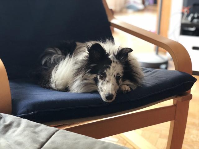 Olga Blue, chien Berger des Shetland