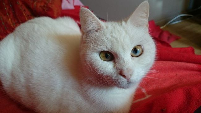 Bianca, chat Européen