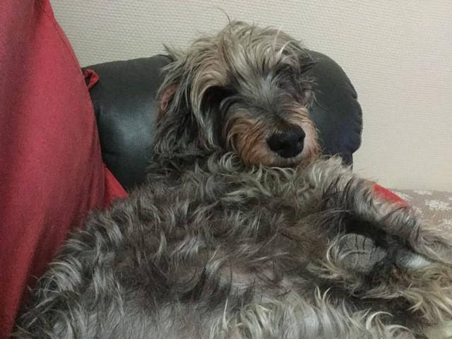 Bibiche, chien Griffon nivernais