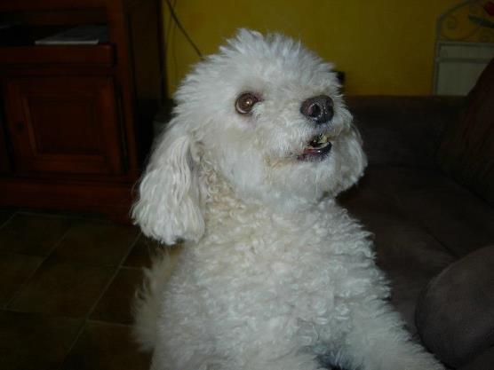 Tropic, chien Bichon à poil frisé