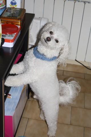 Éros, chien Bichon à poil frisé