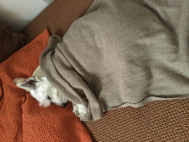 Azat, chien Bichon à poil frisé