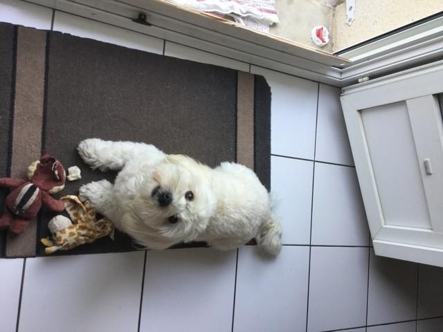 Jimmy, chien Bichon havanais
