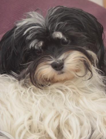 Lutine, chien Bichon havanais