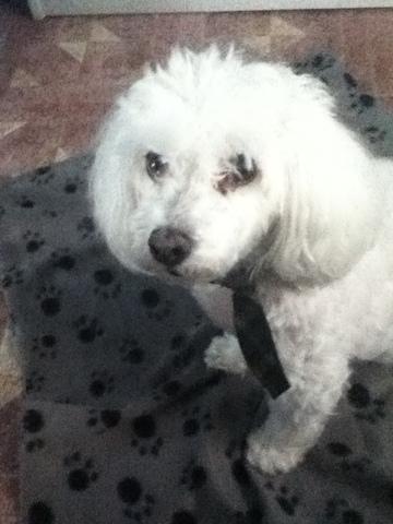 Roxy, chien Bichon maltais