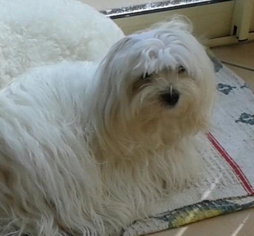 Lou, chien Bichon maltais