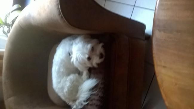 Benjy, chien Bichon maltais