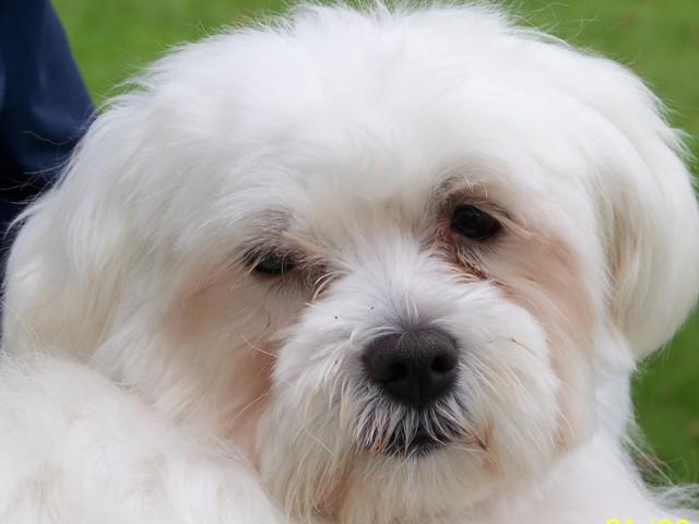 Philou, chien Bichon maltais