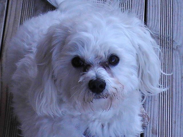 Heliot, chien Bichon maltais