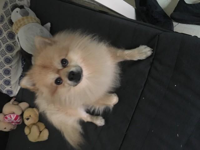 Billy, chien Spitz allemand