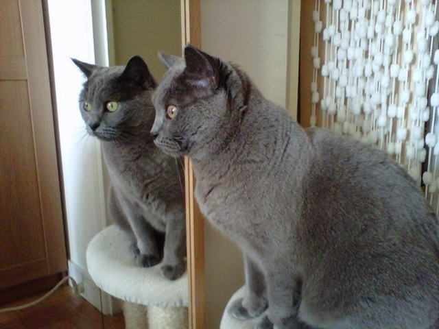 Birdy, chat Chartreux