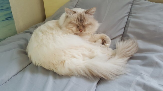 Ilios, chat Birman