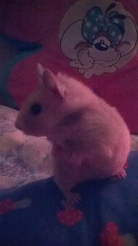 Biscuit, rongeur Hamster