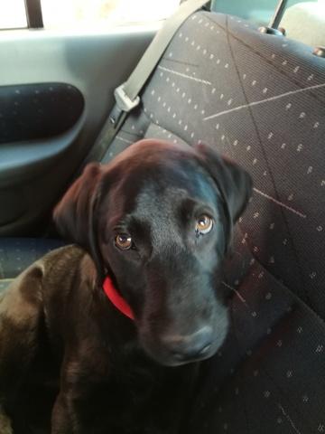 Blacky, chiot Labrador Retriever