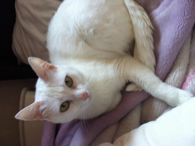 Photo de blanche neige chat angora turc 369524 wamiz - Animaux de blanche neige ...