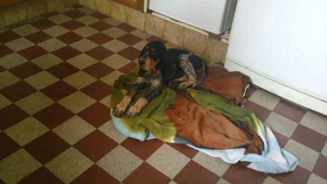 Irros, chien Bleu de Gascogne