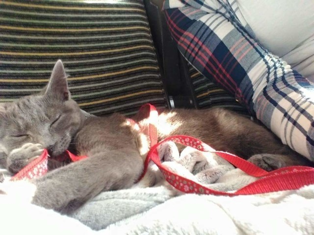 Mila, chat Bleu russe