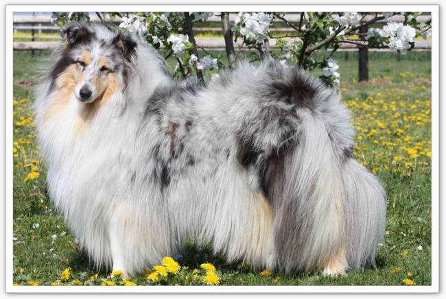 Super Photo de Bloody Mary Blue De Cathyja, chien Colley à poil long  PS26