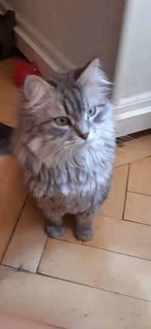Blue Kyara, chat Sibérien