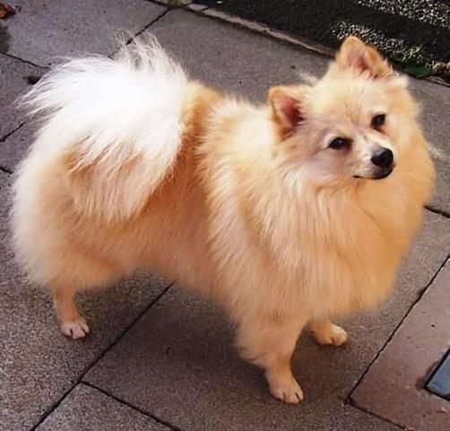 Bob, chien Spitz allemand