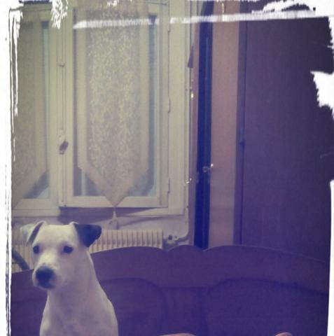 Bobi, chien Jack Russell Terrier