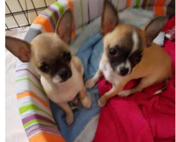 Boddy, chiot Chihuahua