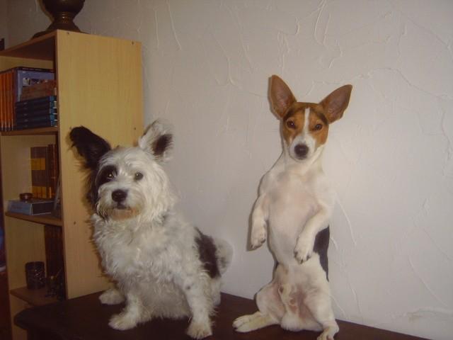 Bonny, chien Jack Russell Terrier