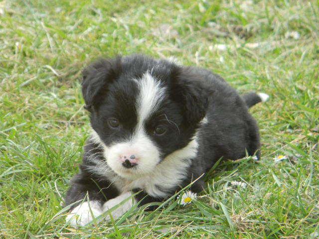 Neska, chien Border Collie