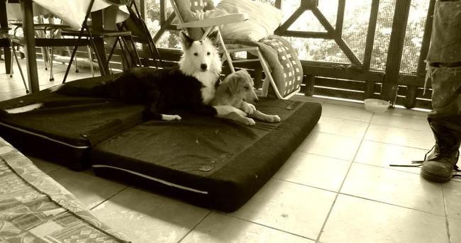 Kayla, chien Border Collie