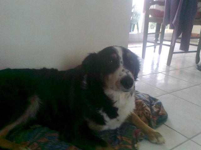 Lili, chien Border Collie