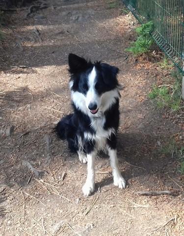 Louna, chien Border Collie