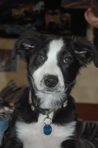 Enya, chien Border Collie