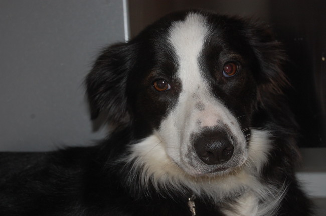 Enya, chien Border Collie
