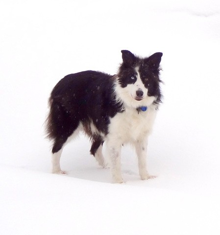 Lancelot, chien Border Collie
