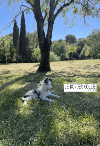 Stan, chien Border Collie