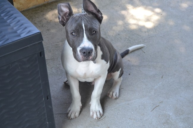 Bosco, chiot American Staffordshire Terrier