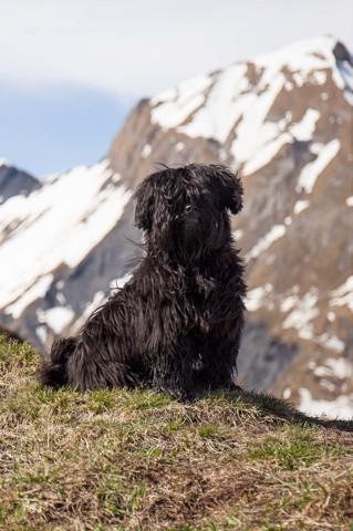 Botch, chien Berger des Pyrénées