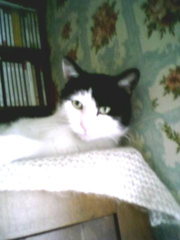 Boubi, chat Européen