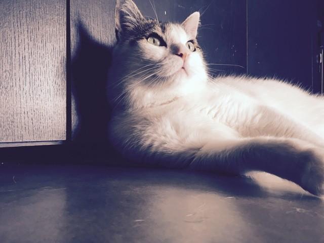 Boubou, chat Européen