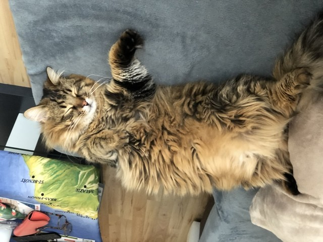 Bouchon, chat Norvégien
