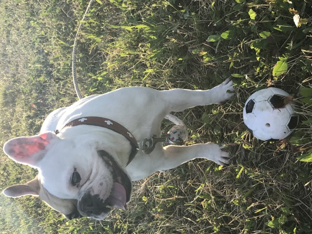 Bailey, chien Bouledogue français
