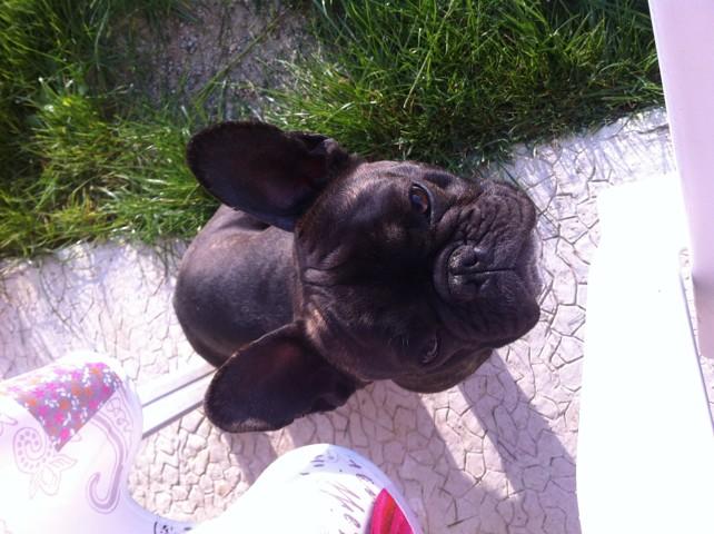 Yuka, chien Bouledogue français