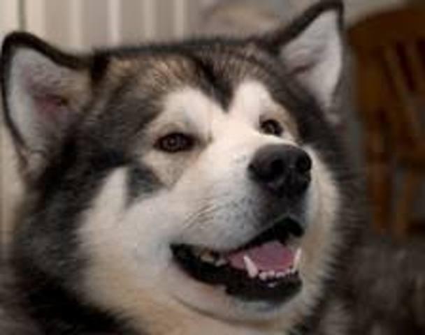 Bounty, chien Malamute de l'Alaska