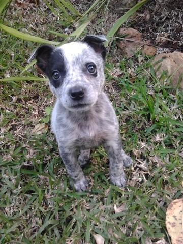 Photo de Marley, chien Bouvier d'Australie - 149912 - Wamiz