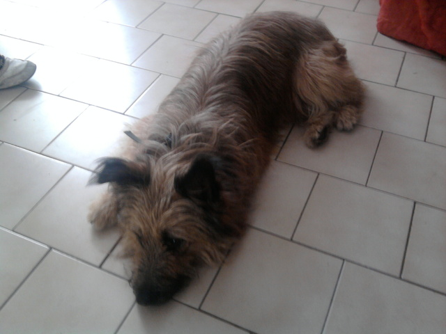 Clipso, chien Bouvier des Ardennes